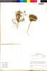 Adesmia pusilla image