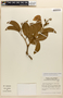 Amphilophium magnoliifolium (Kunth) L. G. Lohmann, BRAZIL, C. A. Cid Ferreira 5219, F