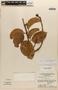 Amphilophium magnoliifolium (Kunth) L. G. Lohmann, Brazil, G. T. Prance 12626, F