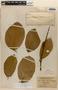 Amphilophium magnoliifolium (Kunth) L. G. Lohmann, BRITISH GUIANA [Guyana], H. Lang 351, F