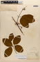 Amphilophium magnoliifolium (Kunth) L. G. Lohmann, French Guiana, F