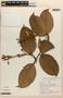 Amphilophium magnoliifolium (Kunth) L. G. Lohmann, Peru, A. H. Gentry 20335, F