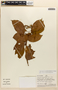 Amphilophium magnoliifolium (Kunth) L. G. Lohmann, Peru, C. Díaz S. 662, F