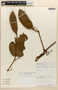 Amphilophium magnoliifolium (Kunth) L. G. Lohmann, Peru, R. Vasquez 10211, F