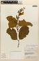 Amphilophium magnoliifolium (Kunth) L. G. Lohmann, Peru, C. H. Dodson 2940, F