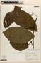 Amphilophium magnoliifolium (Kunth) L. G. Lohmann, Peru, A. H. Gentry 20919, F