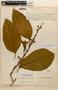 Amphilophium magnoliifolium (Kunth) L. G. Lohmann, Venezuela, L. Williams 15275, F