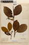 Amphilophium magnoliifolium (Kunth) L. G. Lohmann, Venezuela, L. Williams 15309, F