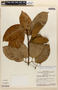 Amphilophium magnoliifolium (Kunth) L. G. Lohmann, Brazil, W. R. Anderson 10999, F