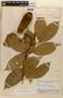 Amphilophium magnoliifolium (Kunth) L. G. Lohmann, Brazil, B. A. Krukoff 6728, F