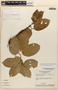 Amphilophium magnoliifolium (Kunth) L. G. Lohmann, Brazil, G. T. Prance 1765, F