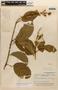 Amphilophium magnoliifolium (Kunth) L. G. Lohmann, Brazil, B. A. Krukoff 8906, F