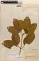 Amphilophium magnoliifolium (Kunth) L. G. Lohmann, Brazil, B. A. Krukoff 1475, F