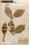 Amphilophium magnoliifolium (Kunth) L. G. Lohmann, BRITISH GUIANA [Guyana], B. Maguire, Jr. 23358, F