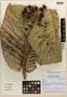 Myrcia gigantifolia M. L. Kawasaki & A. J. Pérez, ECUADOR, Á. J. Pérez 5107, Isotype, F