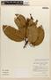 Amphilophium magnoliifolium (Kunth) L. G. Lohmann, BRAZIL, I. L. Amaral 545, F