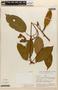 Amphilophium magnoliifolium (Kunth) L. G. Lohmann, PERU, J. Revilla 1746, F