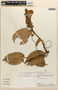 Amphilophium magnoliifolium (Kunth) L. G. Lohmann, PERU, R. López Vásquez 1190, F