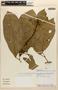 Amphilophium magnoliifolium (Kunth) L. G. Lohmann, PERU, A. H. Gentry 26125, F