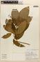 Amphilophium magnoliifolium (Kunth) L. G. Lohmann, PERU, C. Díaz 605, F