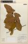 Amphilophium magnoliifolium (Kunth) L. G. Lohmann, PERU, J. Jones 9689, F