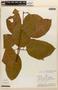 Amphilophium magnoliifolium (Kunth) L. G. Lohmann, PERU, J. Revilla 1353, F
