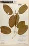 Amphilophium magnoliifolium (Kunth) L. G. Lohmann, PERU, J. Revilla 1079, F
