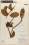 Amphilophium magnoliifolium (Kunth) L. G. Lohmann, PERU, A. H. Gentry 18557, F
