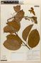 Amphilophium magnoliifolium (Kunth) L. G. Lohmann, PERU, A. H. Gentry 21293, F
