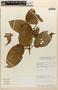 Amphilophium magnoliifolium (Kunth) L. G. Lohmann, PERU, Rod. Vásquez 10212, F