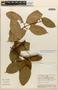 Amphilophium magnoliifolium (Kunth) L. G. Lohmann, PERU, Rod. Vásquez 194, F