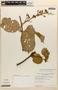 Amphilophium magnoliifolium (Kunth) L. G. Lohmann, PERU, C. Davidson 5370, F