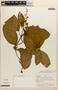 Amphilophium magnoliifolium (Kunth) L. G. Lohmann, PERU, A. H. Gentry 20493, F