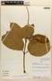 Amphilophium magnoliifolium (Kunth) L. G. Lohmann, PERU, A. H. Gentry 15844, F
