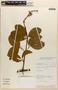 Amphilophium magnoliifolium (Kunth) L. G. Lohmann, PERU, Rod. Vásquez 10275, F