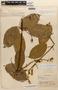 Amphilophium magnoliifolium (Kunth) L. G. Lohmann, PERU, J. M. Schunke 79, F