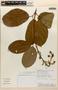 Amphilophium magnoliifolium (Kunth) L. G. Lohmann, PERU, Rod. Vásquez 19329, F