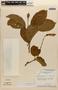 Amphilophium magnoliifolium (Kunth) L. G. Lohmann, BRAZIL, G. T. Prance 2068, F