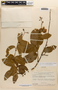 Amphilophium magnoliifolium (Kunth) L. G. Lohmann, BRAZIL, B. Maguire 40029, F