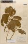 Amphilophium magnoliifolium (Kunth) L. G. Lohmann, BRAZIL, B. A. Krukoff 8767, F