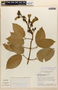 Amphilophium mansoanum (DC.) L. G. Lohmann, BRAZIL, H. S. Irwin 18592, F