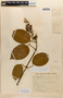 Amphilophium mansoanum (DC.) L. G. Lohmann, BRAZIL, M. Barreto 1877, F