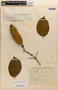 Amphilophium mansoanum (DC.) L. G. Lohmann, BRAZIL, M. Barreto 1884, F