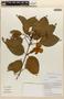 Amphilophium Kunth, PERU, 98/49, F