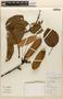 Amphilophium Kunth, BRAZIL, 15276A, F