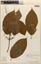 Amphilophium Kunth, PERU, J. Revilla 1188, F