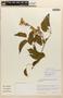 Amphilophium Kunth, ARGENTINA, L. Bernardi 18839, F