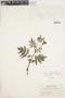 Calceolaria chelidonioides Kunth, Peru, J. J. Soukup 2149, F