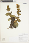 Calceolaria paposana image