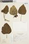 Clerodendrum philippinum image